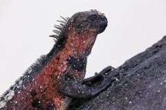 Vue étroite d'iguane marin nation sur d'Espanola île, Galapagos Image libre de droits