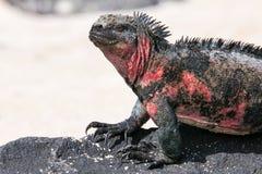 Vue étroite d'iguane marin nation sur d'Espanola île, Galapagos Image stock