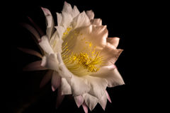 Vue étroite d'une fleur d'eyriesii d'Echinopsis Photo stock