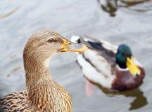 Vue étroite de canard gris femelle Image libre de droits