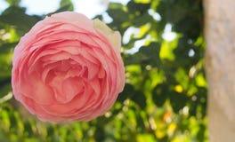 Vue étroite de fleur rose de bel Espagnol Image libre de droits
