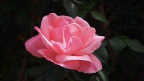 Vue étroite de fleur rose de bel Espagnol, Espagne photographie stock