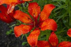 Vue étroite de fleur rouge sauvage de fleur fraîche colorée photo libre de droits