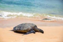 Vue étroite de tortue de mer se reposant sur la plage de Laniakea un jour ensoleillé, Oahu images libres de droits