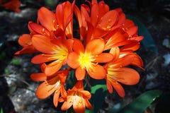 Vue étroite des fleurs oranges de clivia, Espagne image libre de droits