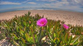 Vue étroite des fleurs roses à la plage méditerranéenne photos libres de droits