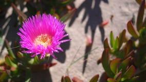 Vue étroite des fleurs roses à la plage méditerranéenne images stock