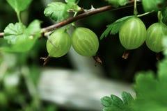 Vue étroite des groseilles à maquereau vertes fraîches s'élevant dans le jardin images stock