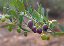 Vue étroite des olives vertes et noires sur un olivier image stock