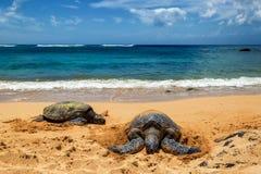 Vue étroite des tortues de mer se reposant sur la plage de Laniakea un jour ensoleillé, Oahu image stock
