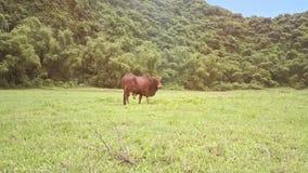 Vue étroite Taureau de bourdon sur le champ d'herbe contre des plantes tropicales
