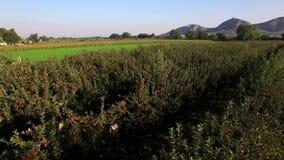 Vue aérienne au-dessus des pommiers rouges au lever de soleil banque de vidéos
