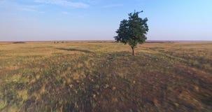 Vue aérienne cinématographique d'un arbre simple dans la prairie au coucher du soleil d'heure de golder banque de vidéos