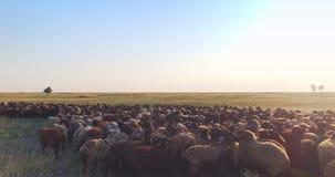 Vue aérienne cinématographique extrêmement - à la basse altitude du troupeau des moutons en steppe ukrainienne clips vidéos