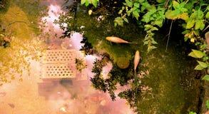 Vue aérienne d'un étang de jardin avec deux golfishes image stock