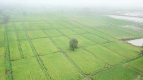 Vue aérienne d'un bourdon de gisement vert de riz en Thaïlande clips vidéos