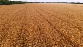 Vue aérienne d'un champ de blé mûr Mouvement panoramique au-dessus de blé Production agricole de pain dans la résolution 4k banque de vidéos