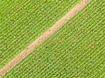 Vue aérienne d'un chemin à travers une culture de champ de maïs Images libres de droits