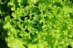 Vue aérienne d'une tête verte de laitue Photo libre de droits