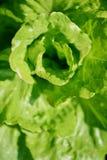 Vue aérienne d'une tête verte de laitue Images libres de droits