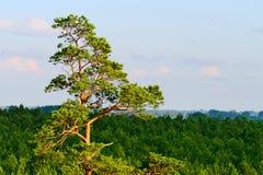 Vue aérienne de bois du pin Photographie stock