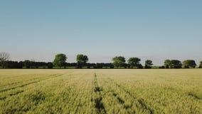 Vue aérienne de champ de blé Balancement jaune de blé d'oreilles dans le vent Récolte, blé s'élevant sur le champ banque de vidéos