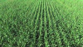 Vue aérienne de champ de maïs