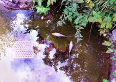 Vue aérienne de deux poissons rouges dans un étang de jardin images stock