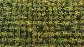 Vue aérienne de ferme de noix de coco les arbres de noix de coco d'une manière ordonnée alignés avec cultivent en rangs la banane image libre de droits
