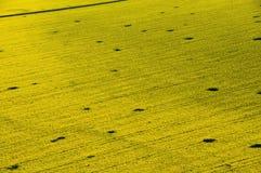 Vue aérienne de gisement jaune de graine de colza Photographie stock