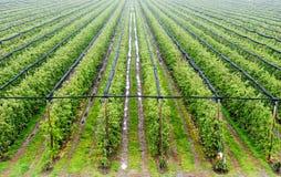 Vue aérienne de grand champ de pommiers Image libre de droits