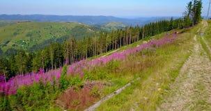 Vue aérienne de la route de montagne carpathienne sur le dessus, fleurs Vol de bourdon banque de vidéos