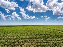 Vue aérienne de plantation de yards de vin rouge Photographie stock