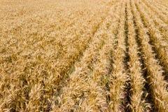 Vue aérienne de plantation mûre de blé pour la récolte photos stock
