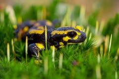 Vue aérienne de salamandre de feu sur la mousse Photos stock