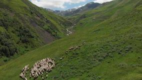 Vue aérienne de troupeau de moutons voyageant sur un pré alpin de verdure au passage croisé d'ours Troupeau de moutons dans Khevs banque de vidéos