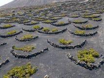 Vue aérienne des cultures de vin sur les sols volcaniques de l'île de Lanzarote Les Îles Canaries, Espagne Production vinicole  photos libres de droits