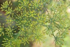 Vue aérienne des fleurs d'usine d'anis [anisum de pimpinella] image stock