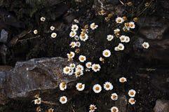 Vue aérienne des marguerites et des roches au crépuscule Photographie stock