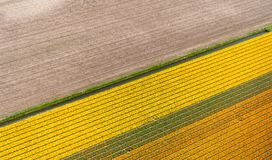 Vue aérienne des tulipes dans un domaine d'ampoule de fleur aux Pays-Bas Image libre de droits