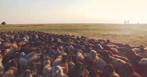 Vue aérienne en gros plan de basse altitude du troupeau des moutons en steppe ukrainienne banque de vidéos