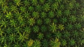 Vue aérienne : Lever de soleil à la plantation d'arbre d'huile de palme d'en haut Vue d'oeil d'oiseaux de HD Krabi, Thaïlande banque de vidéos