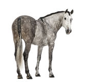 Vue arrière d'un Andalou, de 7 années, regardant en arrière, également connues sous le nom de cheval espagnol pur ou PRÉ Photographie stock libre de droits