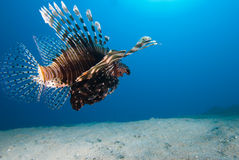 Vue arrière d'un lionfish commun (milles de Pterois) Photo stock