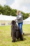 Vue arrière de chien mignon de Terre-Neuve à l'exposition Photographie stock