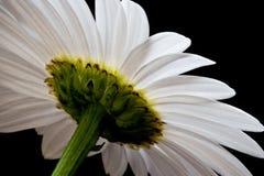 Vue arrière de lumière naturelle de la marguerite blanche Images stock