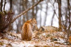 Vue arrière de lynx eurasien regardant dans la forêt en hiver photographie stock libre de droits