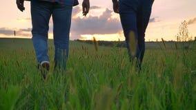 Vue arrière de vieil homme avec le fils adulte marchant loin sur le champ de blé ou de seigle, vue pittoresque de terre pendant l banque de vidéos