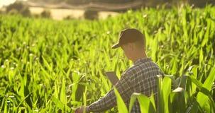 Vue arrière : un agriculteur moderne avec une tablette dans des ses mains touchant les feuilles de maïs dans le domaine clips vidéos