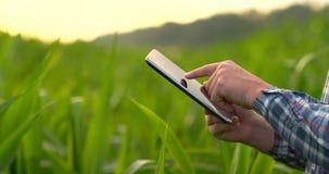 Vue arrière : un agriculteur moderne avec une tablette dans des ses mains touchant les feuilles de maïs dans le domaine banque de vidéos